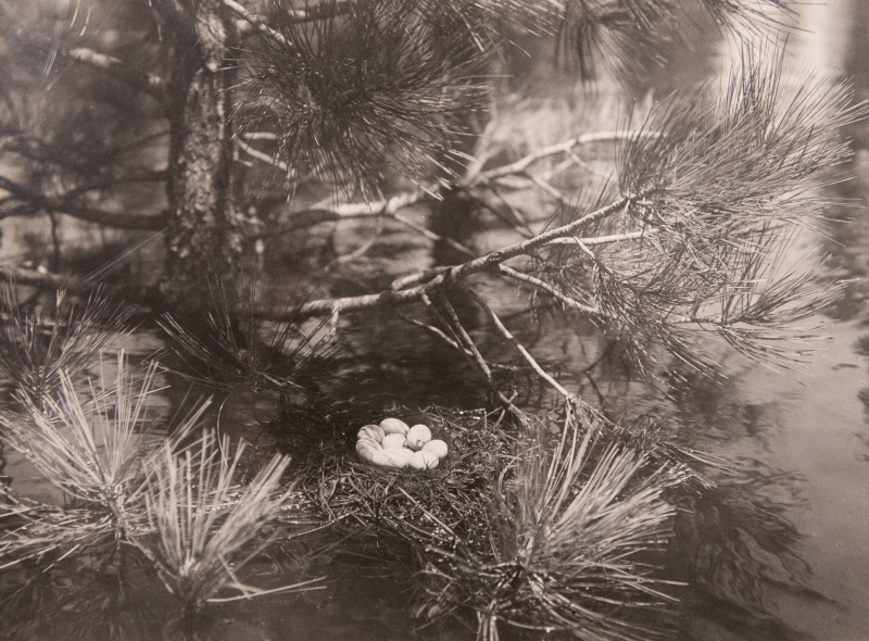 W L Dawson's photo of a nest