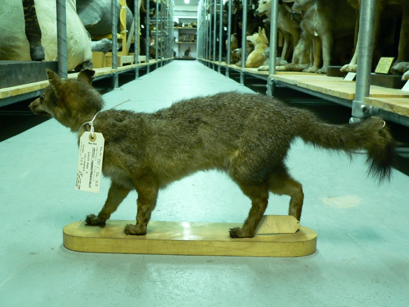 Historic Island Fox specimen at BMNH