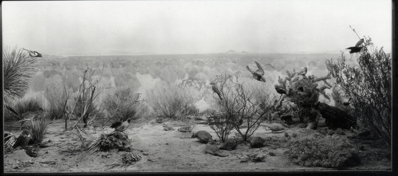 Mojave Desert Bird Group 1923 exhibit mural by Fernand Lungren