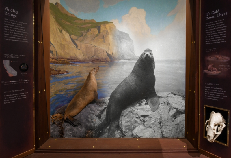 California Sea Lion diorama