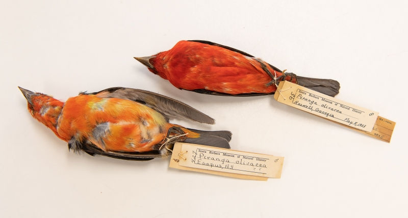 Scarlet Tanager study skins. One has smooth feathers, the other is ruffled and asymmetrical.