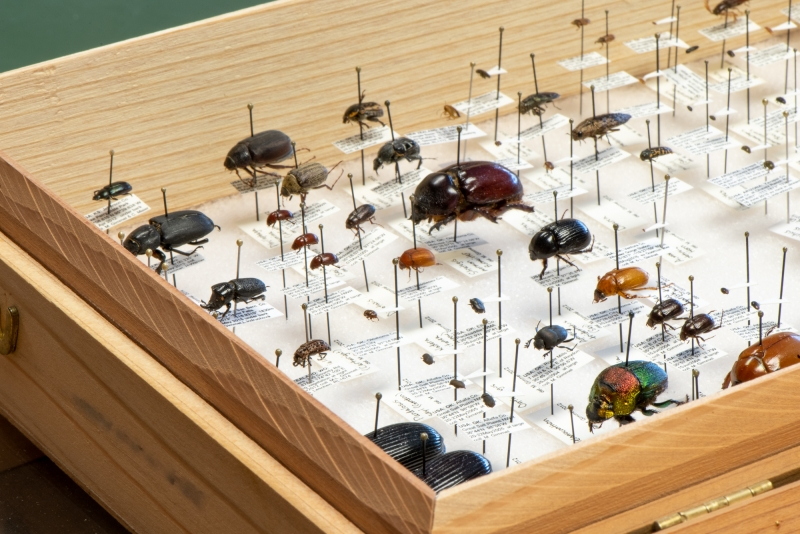 Gimmel's personal synoptic beetle collection