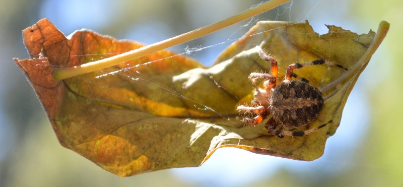 A Neoscona crucifera spider sheltering on a leaf in a Santa Barbara backyard
