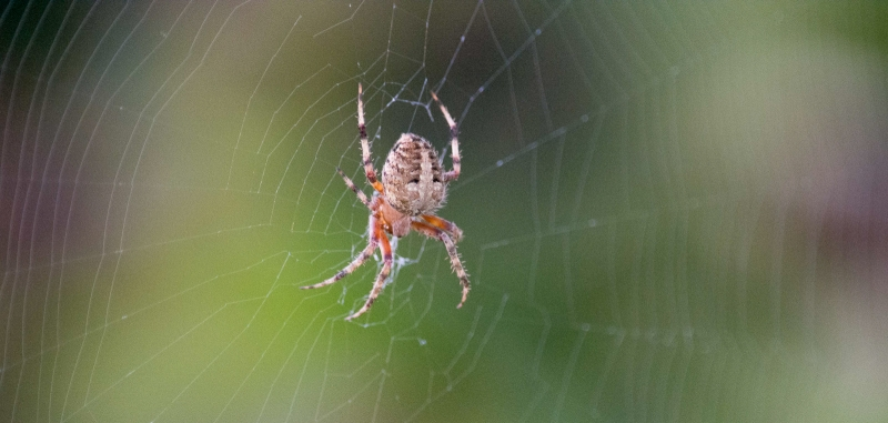 A spider of the genus Neoscona, at the center of its web in Goleta