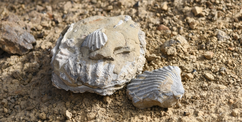 bivalve casts from sirenian site