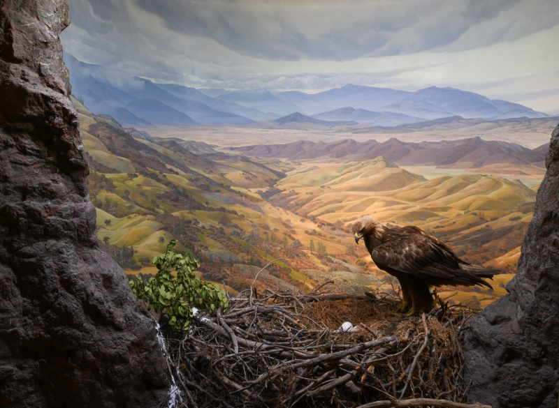 Golden Eagle diorama with background by Ray Strong