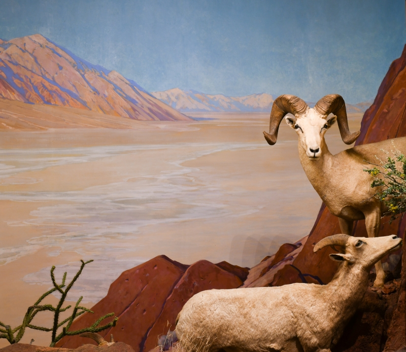 Bighorn Sheep diorama painted by Fernand Lungren