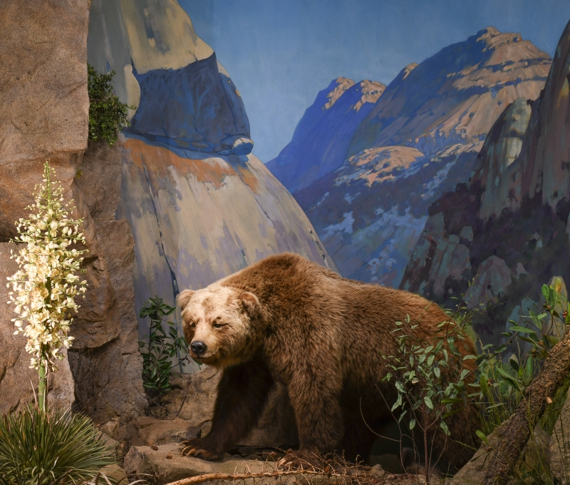 Grizzly Bear diorama background painted by Belmore Browne