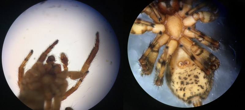 Lock and key: Mexigonus morosus (left to right) male pedipalps and female copulatory ducts. Photo by Jennifer Maupin