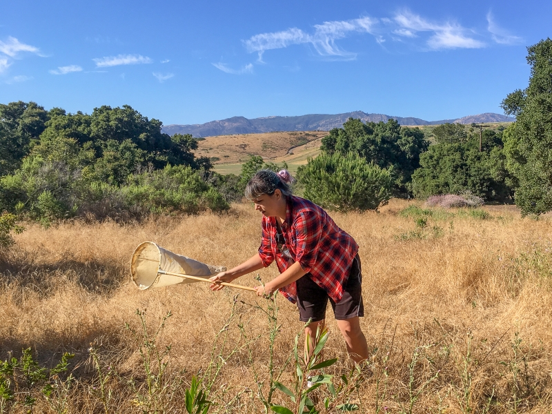 Otte sweep-netting to collect spiders in the field. Photo by Jennifer Maupin