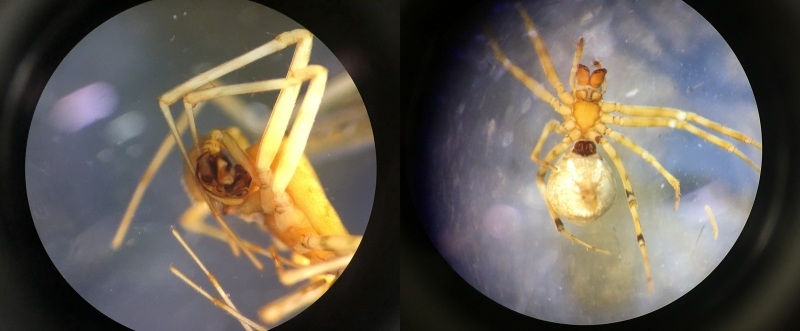 Lock and key: Neriene digna (left to right) male pedipalps and female copulatory ducts. Photo by Jennifer Maupin