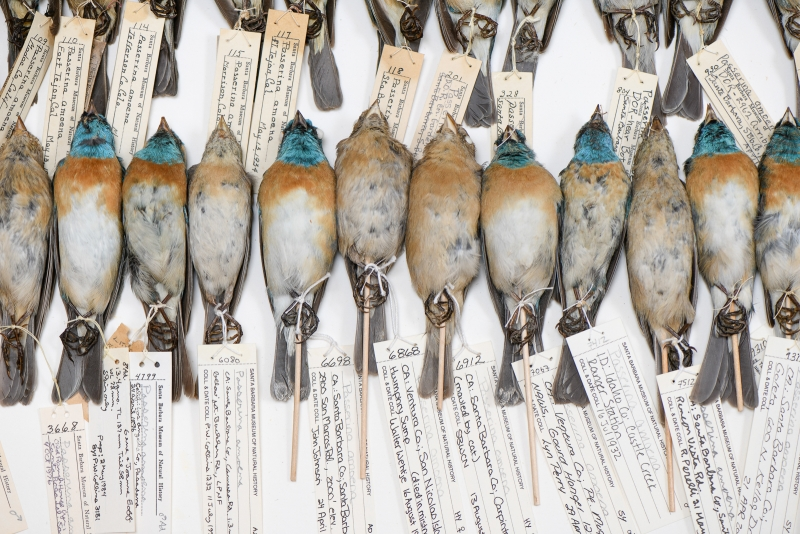 study skins of birds with identifying tags lined up in a drawer