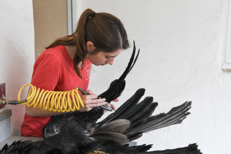 Schorr drying and cleaning the feathers with compressed air from a special hose