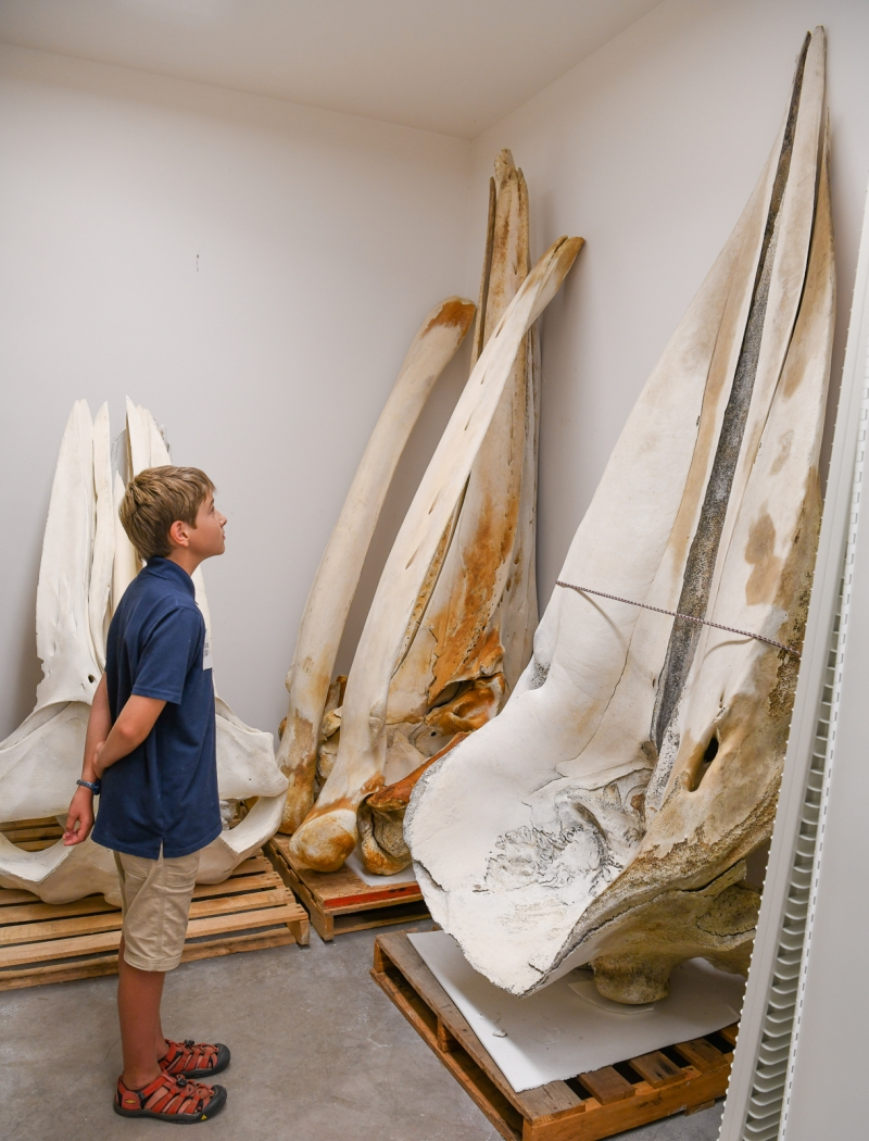 young boy looking at whale skulls twice his height