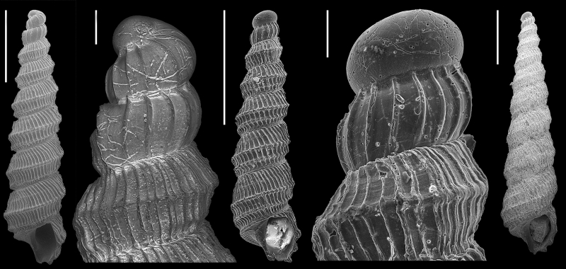 scanning electron imagery of Murdochella tricingulata