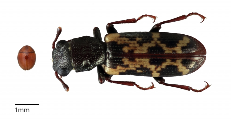 Two very different-looking beetles