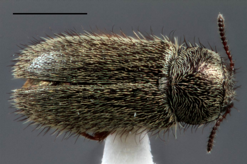 Trichochrous sordidus (LeConte) (Melyridae: Dasytinae). Scale bar = 1 mm. Photo by Lucie Gimmel