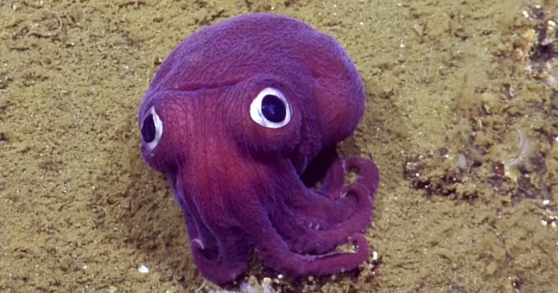 Stubby Squid