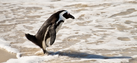 Science Pub From Home: Saving Penguins