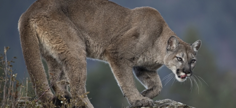 Science Pub From Home: Humans and Mountain Lions in California