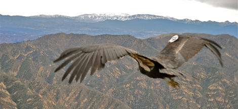 Santa Barbara Audubon Society Presents: The Condor in Captivity - Breeding a Species on the Edge